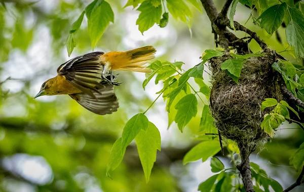 Иволга-птица-Описание-особенности-виды-образ-жизни-и-среда-обитания-иволги-18