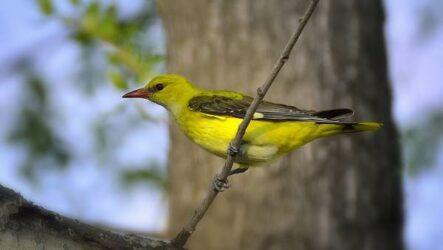 Иволга птица. Описание, особенности, виды, образ жизни и среда обитания иволги