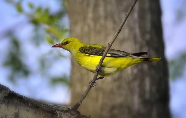 Иволга-птица-Описание-особенности-виды-образ-жизни-и-среда-обитания-иволги-19