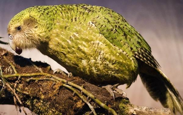 Какапо-попугай-Описание-особенности-виды-образ-жизни-и-среда-обитания-какапо-1