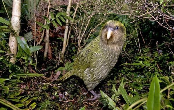 Какапо-попугай-Описание-особенности-виды-образ-жизни-и-среда-обитания-какапо-10