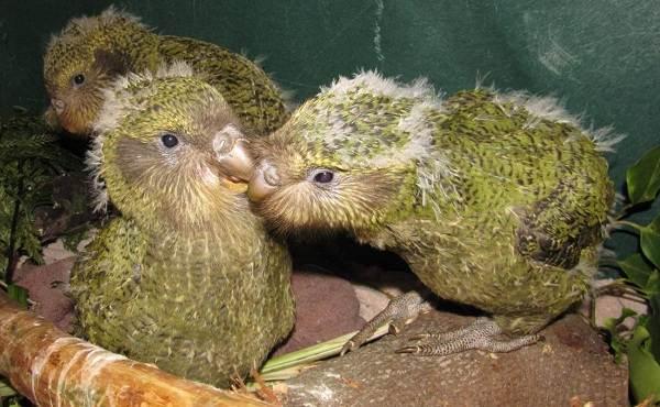 Какапо-попугай-Описание-особенности-виды-образ-жизни-и-среда-обитания-какапо-15