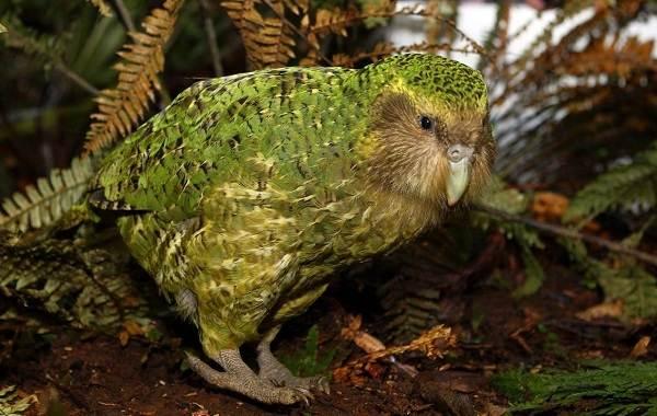 Какапо-попугай-Описание-особенности-виды-образ-жизни-и-среда-обитания-какапо-2