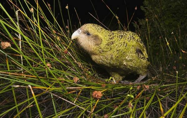 Какапо-попугай-Описание-особенности-виды-образ-жизни-и-среда-обитания-какапо-3