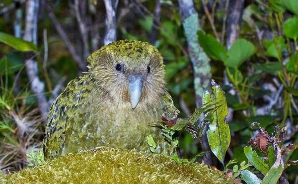 Какапо-попугай-Описание-особенности-виды-образ-жизни-и-среда-обитания-какапо-4