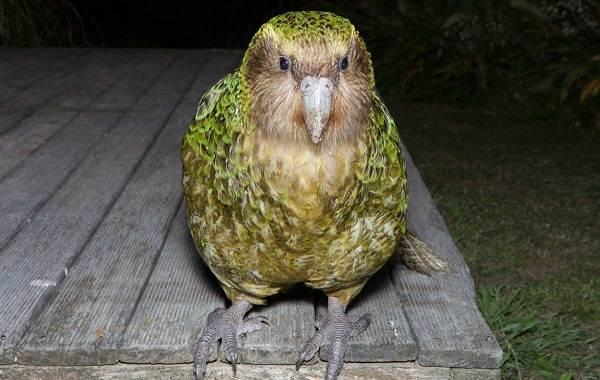 Какапо-попугай-Описание-особенности-виды-образ-жизни-и-среда-обитания-какапо-6