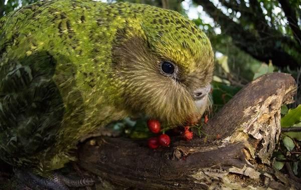 Какапо-попугай-Описание-особенности-виды-образ-жизни-и-среда-обитания-какапо-7