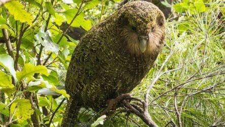 Какапо попугай. Описание, особенности, виды, образ жизни и среда обитания какапо