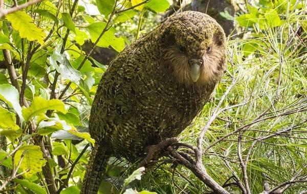Какапо-попугай-Описание-особенности-виды-образ-жизни-и-среда-обитания-какапо-8