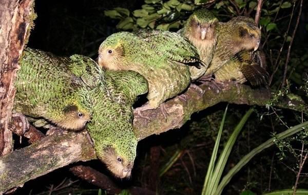 Какапо-попугай-Описание-особенности-виды-образ-жизни-и-среда-обитания-какапо-9