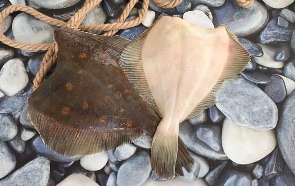 Камбала-рыба-Описание-особенности-виды-образ-жизни-и-среда-обитания-камбалы-10
