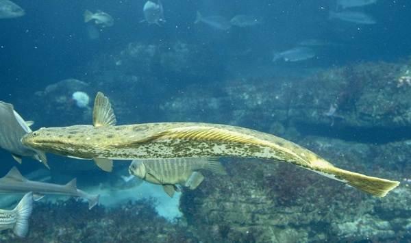 Камбала-рыба-Описание-особенности-виды-образ-жизни-и-среда-обитания-камбалы-11