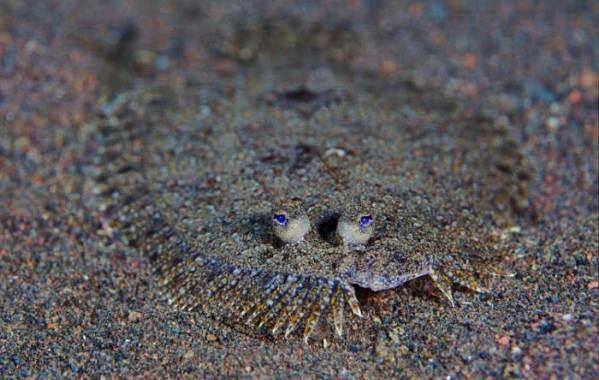 Камбала-рыба-Описание-особенности-виды-образ-жизни-и-среда-обитания-камбалы-15
