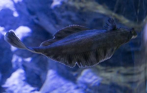Камбала-рыба-Описание-особенности-виды-образ-жизни-и-среда-обитания-камбалы-2