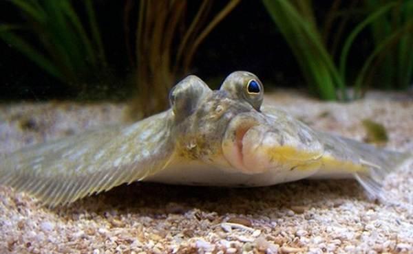 Камбала-рыба-Описание-особенности-виды-образ-жизни-и-среда-обитания-камбалы-3