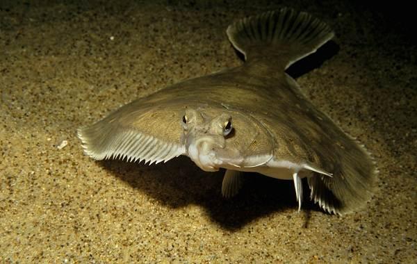 Камбала-рыба-Описание-особенности-виды-образ-жизни-и-среда-обитания-камбалы-4
