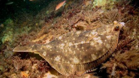Камбала рыба. Описание, особенности, виды, образ жизни и среда обитания камбалы
