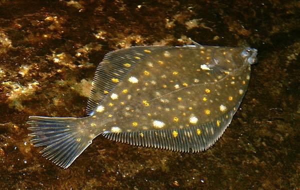 Камбала-рыба-Описание-особенности-виды-образ-жизни-и-среда-обитания-камбалы-6