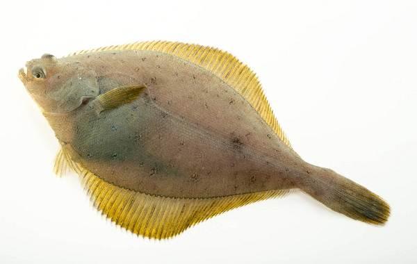 Камбала-рыба-Описание-особенности-виды-образ-жизни-и-среда-обитания-камбалы-8