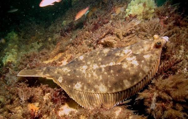 Камбала-рыба-Описание-особенности-виды-образ-жизни-и-среда-обитания-камбалы