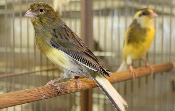 Канарейка-птица-Описание-особенности-виды-образ-жизни-и-среда-обитания-канарейки-1