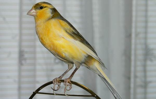 Канарейка-птица-Описание-особенности-виды-образ-жизни-и-среда-обитания-канарейки-10