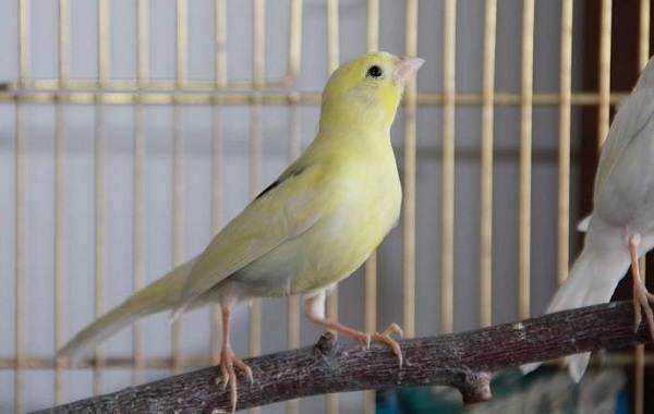 Канарейка-птица-Описание-особенности-виды-образ-жизни-и-среда-обитания-канарейки-13