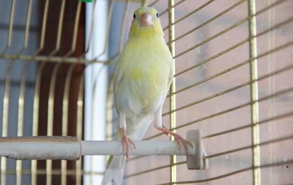 Канарейка-птица-Описание-особенности-виды-образ-жизни-и-среда-обитания-канарейки-14