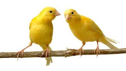 Канарейка птица. Описание, особенности, виды, образ жизни и среда обитания канарейки