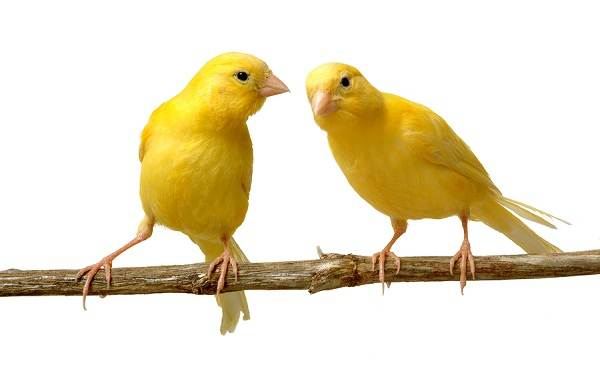 Канарейка-птица-Описание-особенности-виды-образ-жизни-и-среда-обитания-канарейки-15