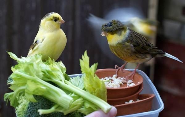 Канарейка-птица-Описание-особенности-виды-образ-жизни-и-среда-обитания-канарейки-16
