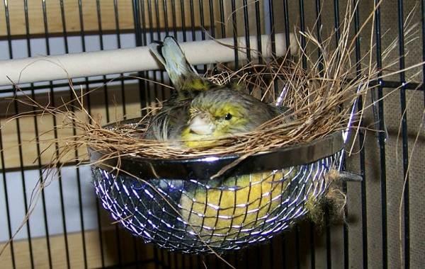 Канарейка-птица-Описание-особенности-виды-образ-жизни-и-среда-обитания-канарейки-17