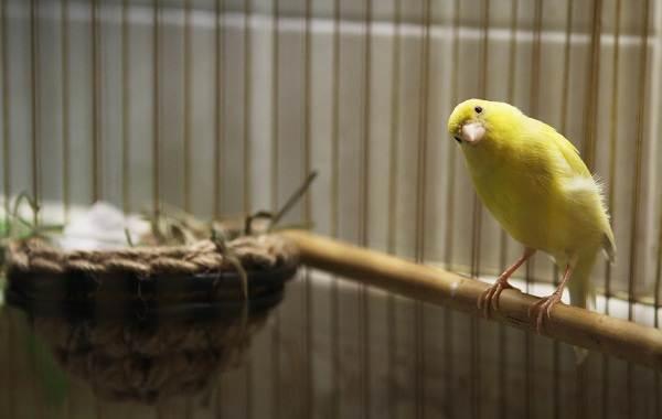 Канарейка-птица-Описание-особенности-виды-образ-жизни-и-среда-обитания-канарейки-19
