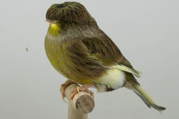 Канарейка-птица-Описание-особенности-виды-образ-жизни-и-среда-обитания-канарейки-3