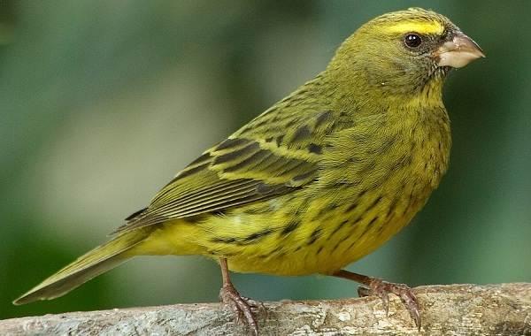 Канарейка-птица-Описание-особенности-виды-образ-жизни-и-среда-обитания-канарейки-9