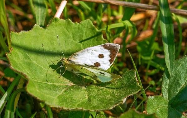Капустница бабочка насекомое. Описание, особенности, виды и фото ... | 380x600