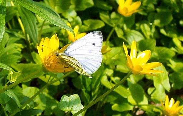Капустница-бабочка-насекомое-Описание-особенности-виды-и-фото-капустницы-10