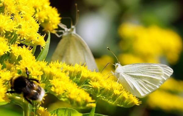 Капустница-бабочка-насекомое-Описание-особенности-виды-и-фото-капустницы-11