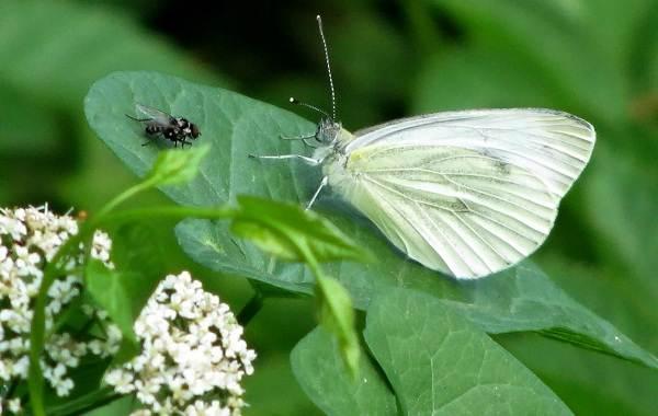 Капустница-бабочка-насекомое-Описание-особенности-виды-и-фото-капустницы-13