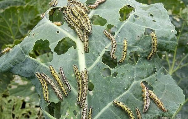 Капустница-бабочка-насекомое-Описание-особенности-виды-и-фото-капустницы-14