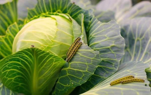 Капустница-бабочка-насекомое-Описание-особенности-виды-и-фото-капустницы-15