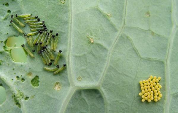 Бабочка капустница | Она же Белянка капустная, описание вредителя | 380x600