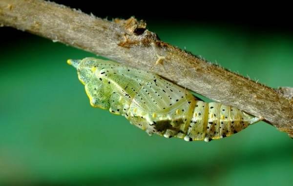 Капустница-бабочка-насекомое-Описание-особенности-виды-и-фото-капустницы-18