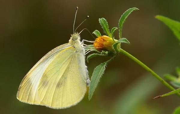 Капустница-бабочка-насекомое-Описание-особенности-виды-и-фото-капустницы-3