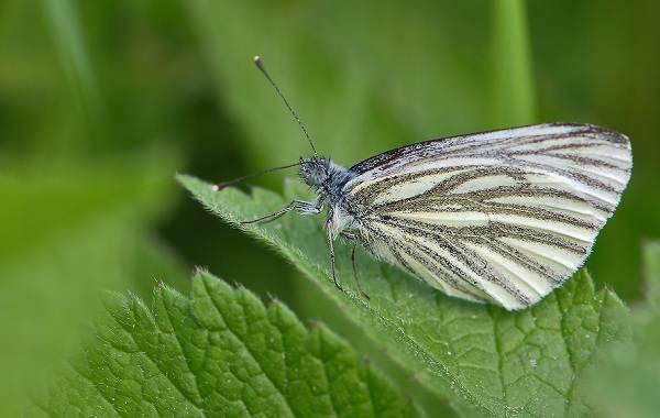 Капустница-бабочка-насекомое-Описание-особенности-виды-и-фото-капустницы-4