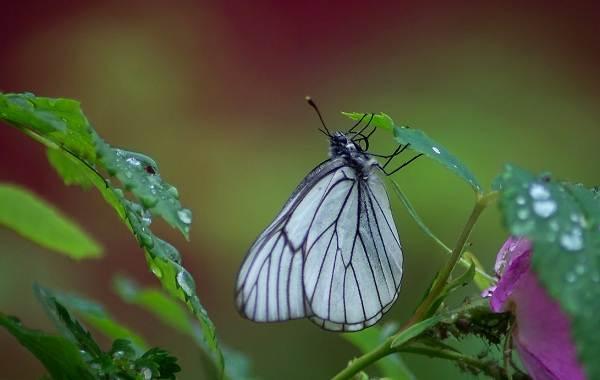 Капустница-бабочка-насекомое-Описание-особенности-виды-и-фото-капустницы-5