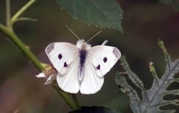 Капустница-бабочка-насекомое-Описание-особенности-виды-и-фото-капустницы-6