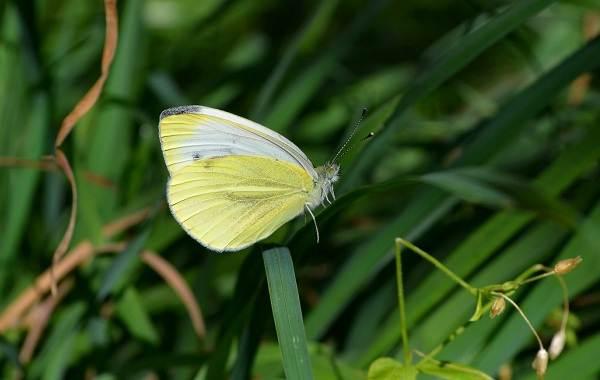 Капустница (бабочка) — Википедия | 380x600