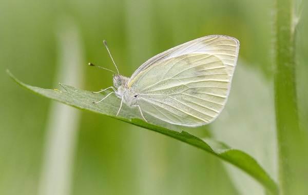 Капустница-бабочка-насекомое-Описание-особенности-виды-и-фото-капустницы-9