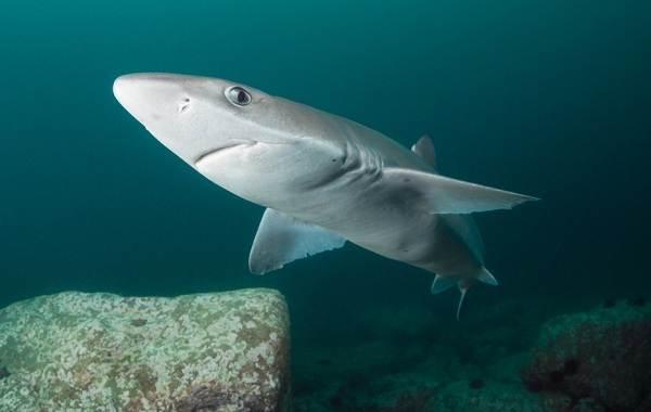 Катран-акула-Описание-особенности-виды-образ-жизни-и-среда-обитания-катрана-1